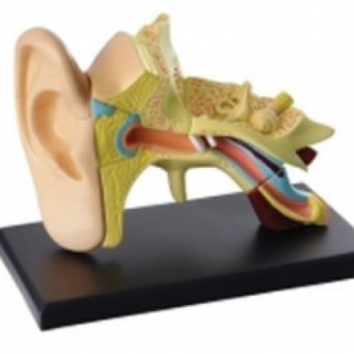 Anatomy Ear